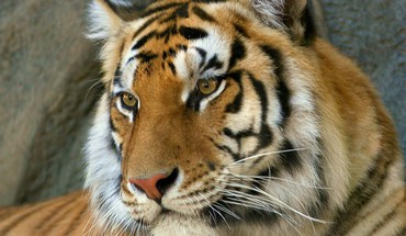 Bengal tigers animals HD wallpaper