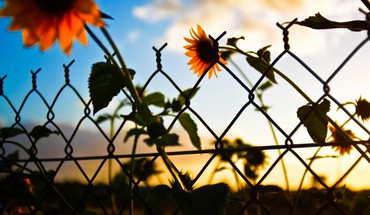 Sunset clouds nature artistic flowers fences artwork sunflowers HD wallpaper