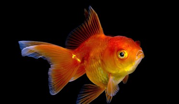 Goldfish HD wallpaper