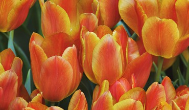 Flowers tulips monarch HD wallpaper