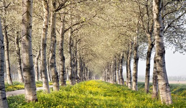 Rows of lovely birch trees in spring HD wallpaper