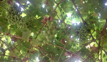Iran grapes HD wallpaper