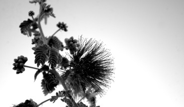 Mimosa contrast flowers macro monochrome HD wallpaper