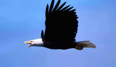 Bald eagle in flight HD wallpaper