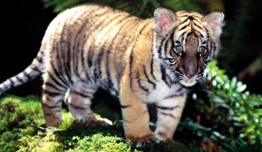 Tiere Tiger wild  HD wallpaper