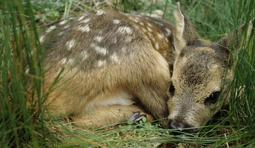 Animals baby deer fawn grass HD wallpaper