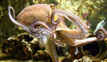 Animals octopuses HD wallpaper