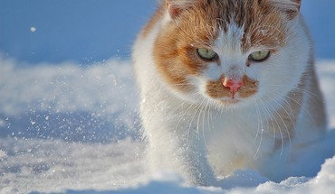 Snow cats animals green eyes HD wallpaper