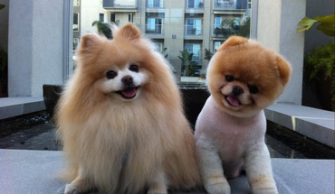 Animaux Chiens animaux pomeranian boo copain  HD wallpaper