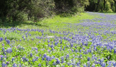 Texas bluebonnets in bloom HD wallpaper
