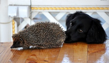 Hedgehog and labrador HD wallpaper