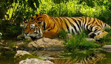 Animals nature tigers HD wallpaper