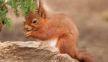 Red squirrel HD wallpaper