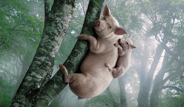 Koalas pigs trees HD wallpaper