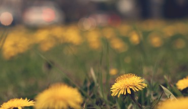 Dandelions flowers macro yellow HD wallpaper