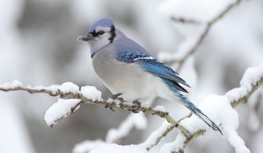 Blue jay birds HD wallpaper