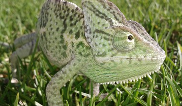 Chameleons grass reptiles HD wallpaper