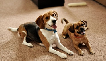 Animals dogs puppies couple beagle waiting HD wallpaper