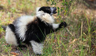 Animals lemurs 27 HD wallpaper