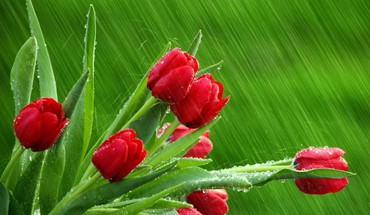 Macro rain red flowers tulips wet HD wallpaper