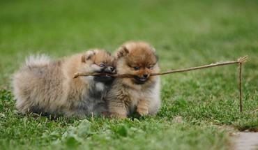 Pomeranian dogs HD wallpaper