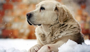 Pensive dog HD wallpaper