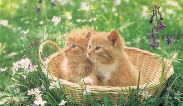 Kittens in a basket HD wallpaper