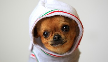 Animals dogs funny chihuahua HD wallpaper