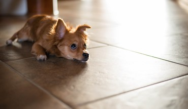 Floor animals dogs interior HD wallpaper