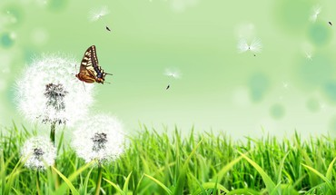 Butterfly on dandelion flower HD wallpaper