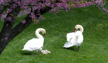 Birds garden swans HD wallpaper
