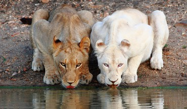Nature Animaux blancs lions albinos potable  HD wallpaper