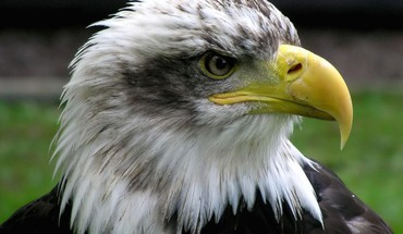 Nature eagles bald birds HD wallpaper