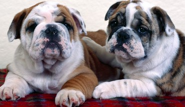 Animals dogs bulldog HD wallpaper