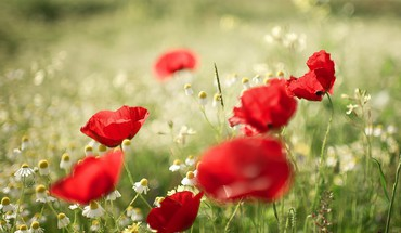 Flowers poppies HD wallpaper