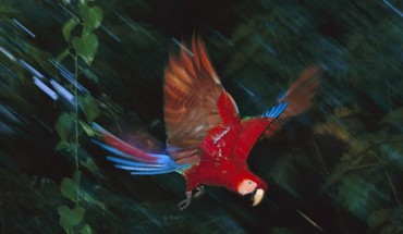 Macaw peru scarlet macaws birds national HD wallpaper