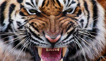 Tiger eyes iv HD wallpaper