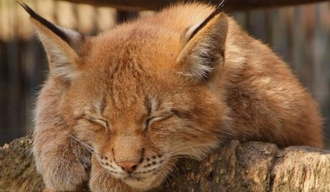 Nature animals caracal HD wallpaper
