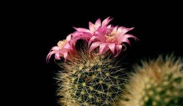 Black background cactus flowers HD wallpaper
