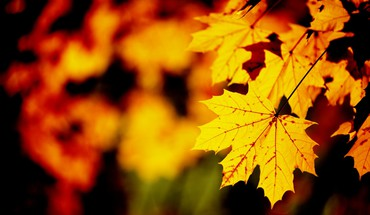 Herbst Ahornblatt  HD wallpaper