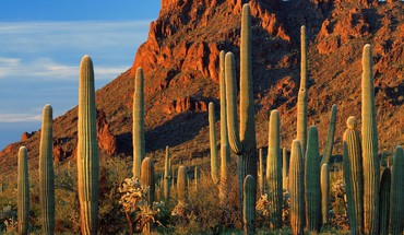 Organ pipe cactus np arizona HD wallpaper