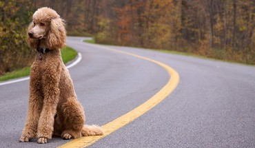 Animaux Chiens routes caniche  HD wallpaper