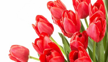 My fav red tulips HD wallpaper