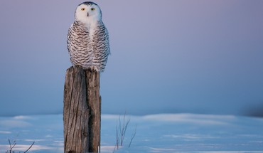 Owl standing guard in winter HD wallpaper