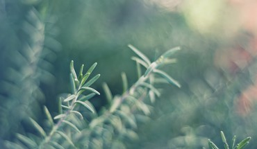 Herbs rosemary HD wallpaper