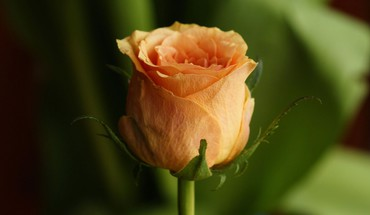 Single orange rose  HD wallpaper