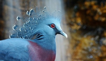Birds crowned pigeon HD wallpaper