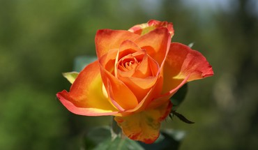 Dark orange tipped rose HD wallpaper