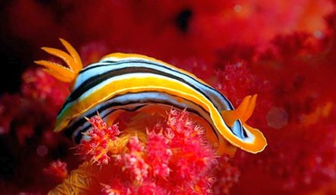 Nature animals nudibranchia sea slugs HD wallpaper