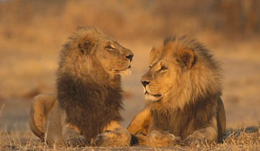 African animals games lions HD wallpaper
